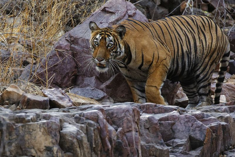 Royal Bengal tiger on a royal granite rocks Animals In The Wild Animal Wildlife One Animal Animal Themes Close-up Mammal Nature Nature Beauty Naturephotography Beauty In Nature Nature Animals In The Wild Nature Lover Scenics Nature Collection Wild Beast tiger moving