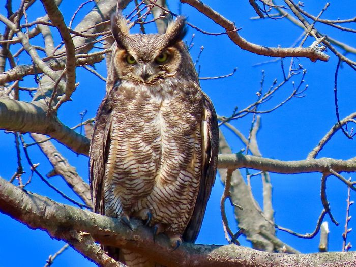 Owl portrait perched on the bare branch of a tree closeup facing camera low angle view Birds of prey EyeEm nature lover beauty in nature outdoors birdwatching Tree Animal Wildlife Animal Themes One Animal No People