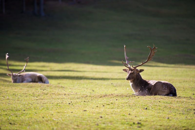 deer laying on a alp Alp Animal Themes Animal Wildlife Animals In The Wild Day Deer Field Grass Mammal Nature No People One Animal Outdoors