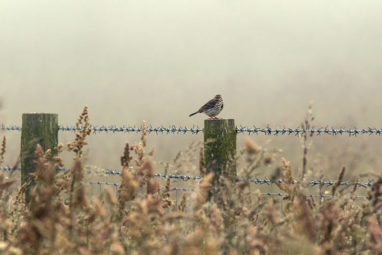 Meadow Pipit in