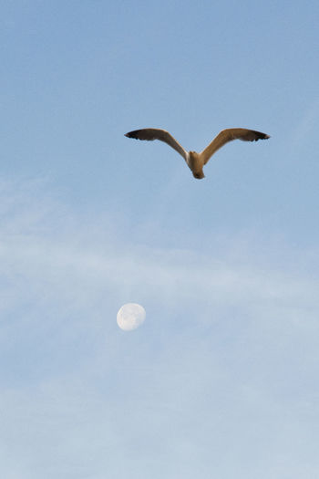 Sky Bird Moon Animal Themes Low Angle View Flying Animal Vertebrate Animal Wildlife Animals In The Wild Spread Wings One Animal Nature No People Mid-air Beauty In Nature Blue Motion Clear Sky Outdoors Seagull Planetary Moon Sunrise Sunrisewithmoon Quite Summer Summertime Sunny Dayligth Sunlight Sunnyday Silence Flyng Window