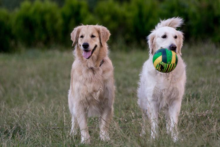 Dogs standing on grassy field