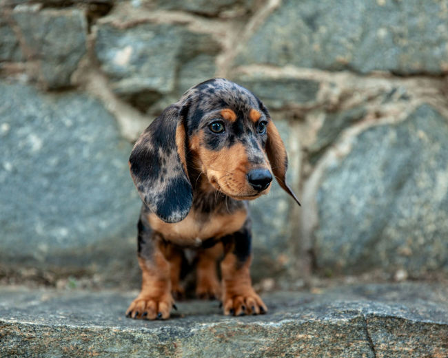 One Animal Canine Dog Domestic Pets Animal Domestic Animals Mammal No People Puppy Daschund Pet Photography  Focus On Foreground Dachshund Looking Away Portrait Rock - Object