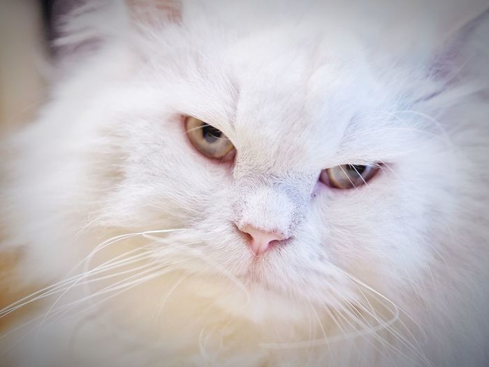 Close-up portrait of white hair cat