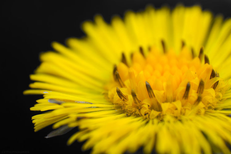 Close-up of fresh yellow flower against black background
