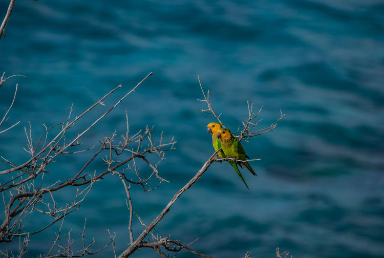 Couple Sea Parrot Parrots Green Parrot Green Butterfly - Insect Perching Branch Beauty In Nature Water Close-up Plant Insect Invertebrate No People Animal Themes Animals In The Wild Animal Wildlife Ziseetheworld Ziwang Curacao Curacao_island Caribbean Curacao (willemstad)