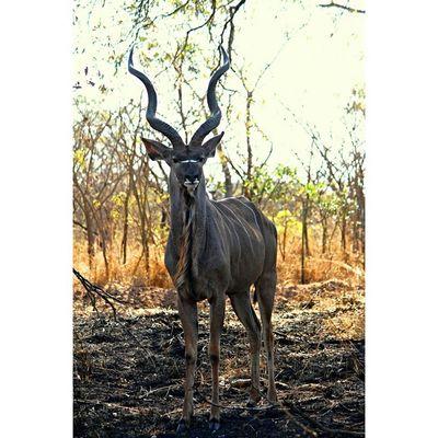 Kudu in Krugernationalpark Natureaddict Animalsaddict Africa Squaredroid Wildlife Igersmp Aviary @Animals Africanamazing