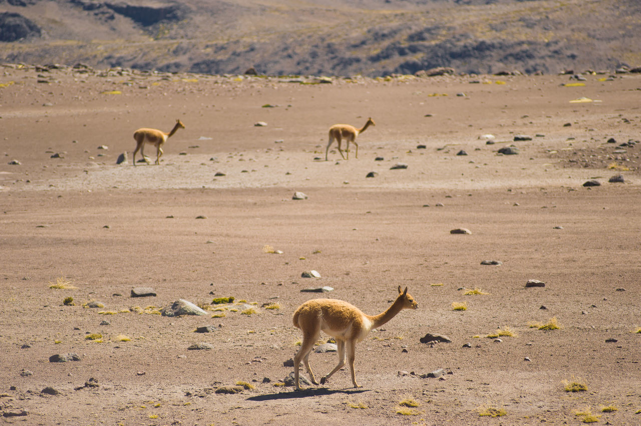 animals in the wild, animal wildlife, animal themes, outdoors, animal, desert, nature, mammal, no people, day, arid climate, sand, large group of animals, standing, landscape, full length, flamingo