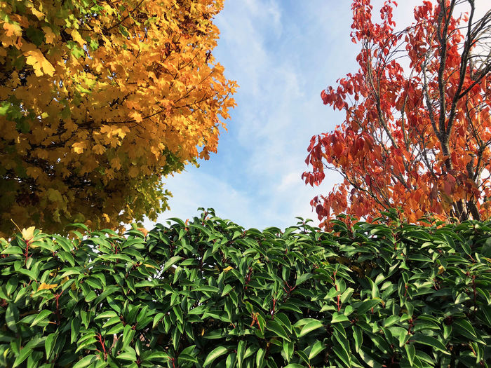 Leaf Leaves Colorful Multi Colored Red Yellow Green Color Blue Blue Sky Plant Plant Part Growth Autumn Beauty In Nature Tree Change Nature Low Angle View Sky Day Cloud - Sky Orange Color Outdoors Life Sunlight