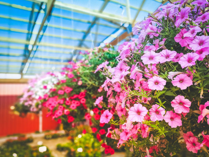 Beauty In Nature Botany Bunch Of Flowers Ceiling Close-up Day Flower Flower Head Flower Pot Flowering Plant Fragility Freshness Greenhouse Growth Inflorescence Nature No People Outdoors Petal Pink Color Plant Plant Nursery Vulnerability