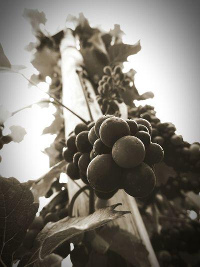 Sepia Wood Holz Weinreben Grapevine Vineyard Nature Trauben Grapes Shades Of Grey