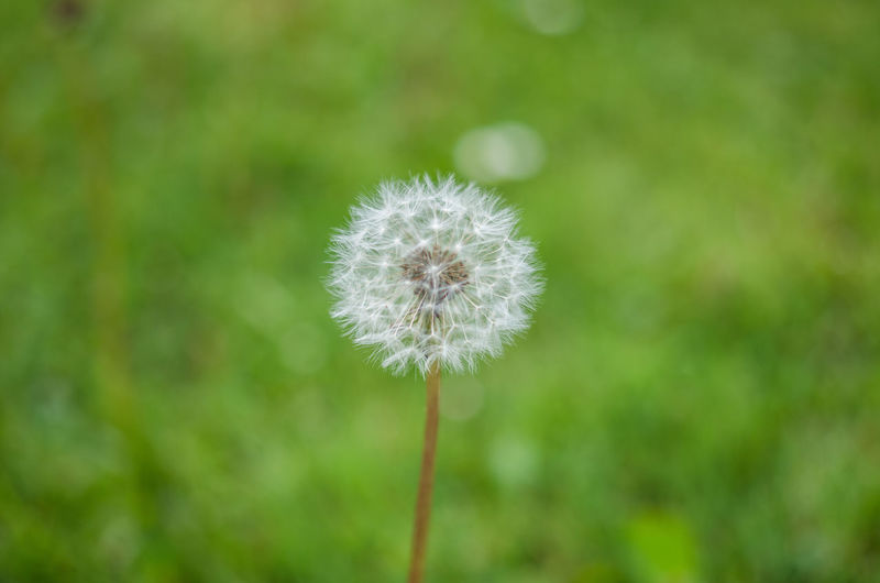 Dandelion in nature Dandelions Beauty In Nature Blowball Close-up Dandelion Dandelion Close-up Dandelion Seed Day Flower Flower Head Flowering Plant Focus On Foreground Fragility Freshness Growth Inflorescence Nature No People Outdoors Plant Plant Stem Softness Vulnerability