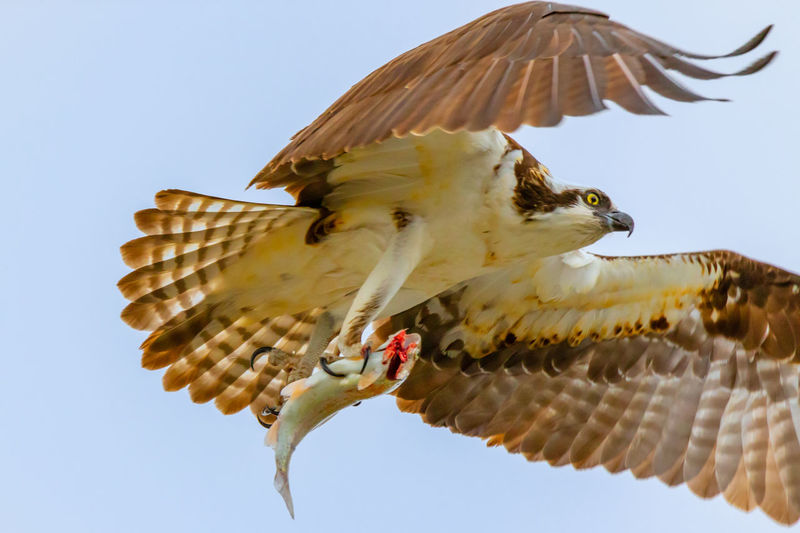 Bird Animal Themes Animal Animal Wildlife Animals In The Wild Vertebrate Spread Wings Flying Sky Low Angle View Nature No People One Animal Clear Sky Day Mid-air Outdoors Motion Bird Of Prey Beauty In Nature Osprey Flying With A Fish