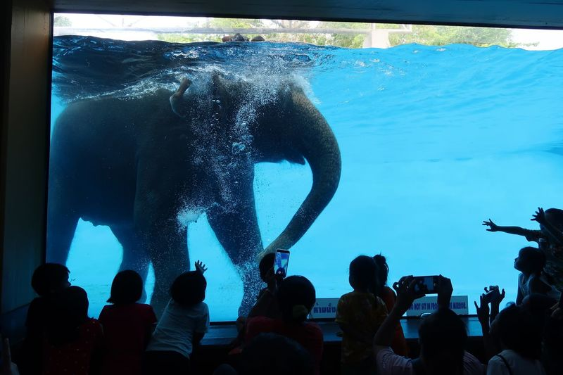Elephant swimming in Thailand Zoo. Underwater Animal Swimming Swimming Elephant Real People Crowd Women Men Large Group Of People Water Nature