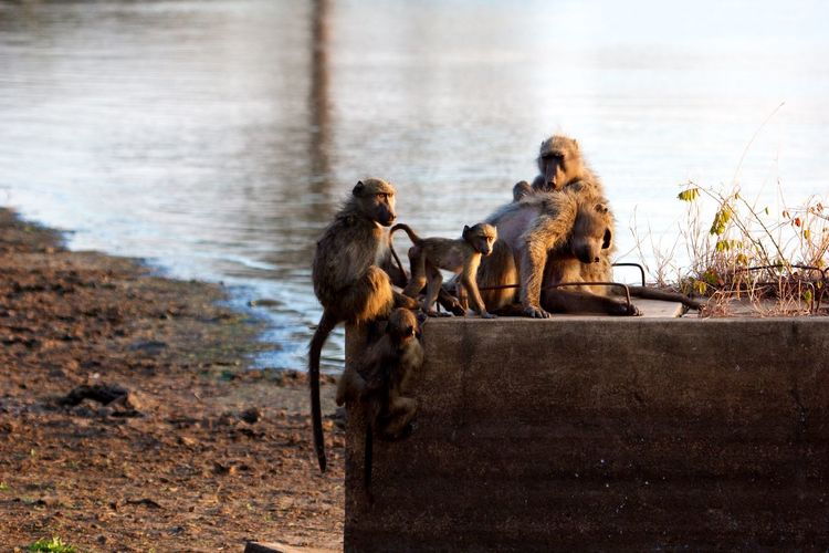 Family of chacma baboons in the sunset