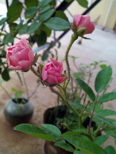 mini roses Rose Plant Mini Rose Pink Pink Rose Button Rose Green Flower Pink Color Plant Growth Leaf Nature Petal Beauty In Nature Outdoors Freshness Flower Head
