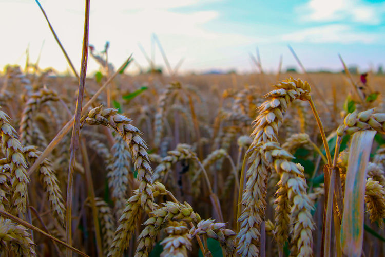 Close-up of stalks in field against sky