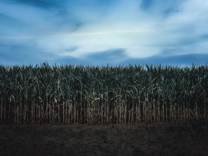 Moment Of Silence Panoramic Cloud - Sky Moment Of Silence Panoramic Cloud - Sky Nature Environment Rural Scene Beauty In Nature Tranquil Scene Tranquility Sky Plant Agriculture Land Field Corn Farm Growth Scenics - Nature Landscape