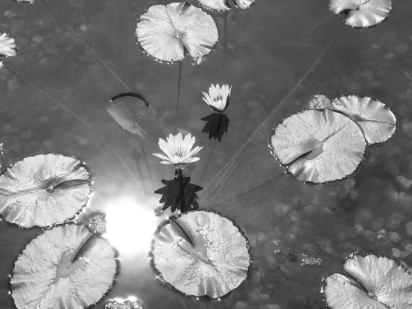 Lotus Flower Lily Pond Blackandwhite