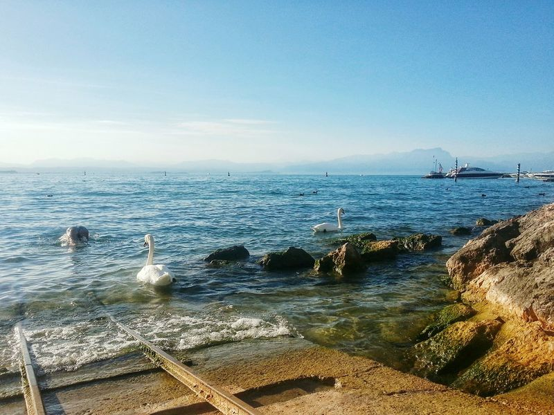 Swans at Garda Lake. P. S.: I've click on it and discovered a Bum emerging from the waters👙 😂 fucking distracting swans! Culo Butts Late Afternoon Light Swans Lago Di Garda, Peschiera, Peschiera Del Garda Garda Lake Water Smartphone Photography. Note 2 Horizon Over Water Scaletto . Scalo Slipway