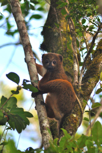 Animal Themes Animal Wildlife Animals In The Wild Branch Day Leaf Lemur Low Angle View Mammal Nature No People One Animal Outdoors Rainforest Red Ruffed Lemur Sitting Sky Tree Tree Trunk Wild