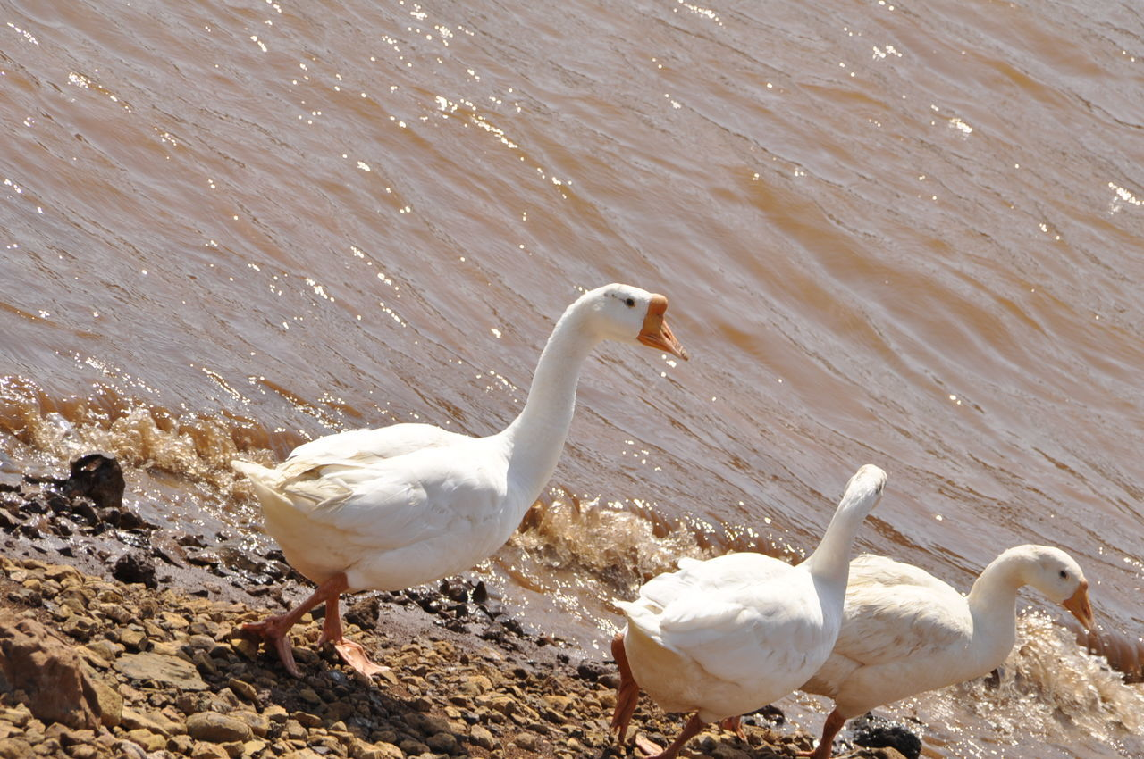 bird, animals in the wild, animal themes, white color, swan, animal wildlife, water, lake, nature, no people, day, water bird, seagull, goose, outdoors, close-up