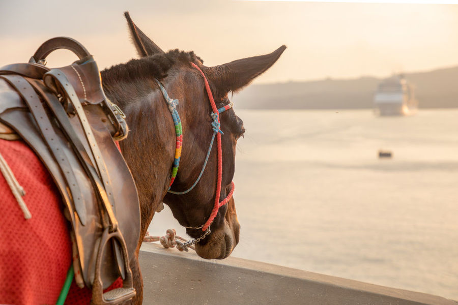 Santorini Greece Animal Animal Themes Mammal Domestic Animals Domestic Pets One Animal Working Animal Vertebrate Bridle Animal Wildlife Focus On Foreground Livestock No People Nature Day Herbivorous Saddle Close-up Animal Body Part Outdoors Animal Head  Profile View