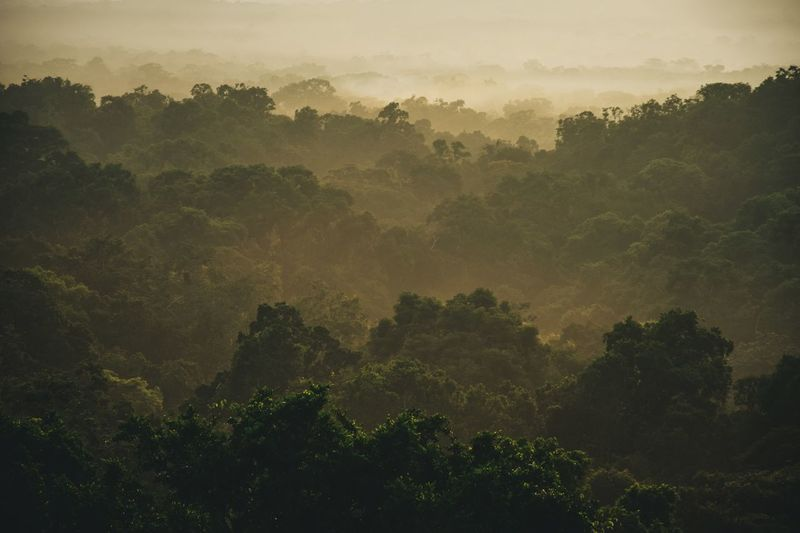 lifting fog over the rainforest Sunrise Early Morning Nature Rainforest Tikal Guatemala Tree Plant Tranquility Beauty In Nature Scenics - Nature Tranquil Scene No People Non-urban Scene Landscape Outdoors Green Color Environment Idyllic Fog Forest Treetop EyeEmNewHere
