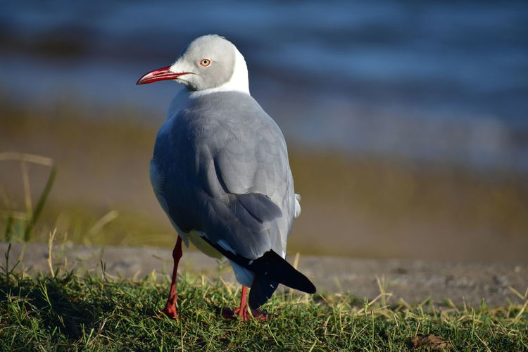 Red-Billed SeaGull Red Beak Sea Gull Red Billed Gull Bird Bird Photography Webbed Feet Beauty In Nature EyeEm Selects Bird Beak Close-up Grass Feather  Tropical Bird The Great Outdoors - 2018 EyeEm Awards