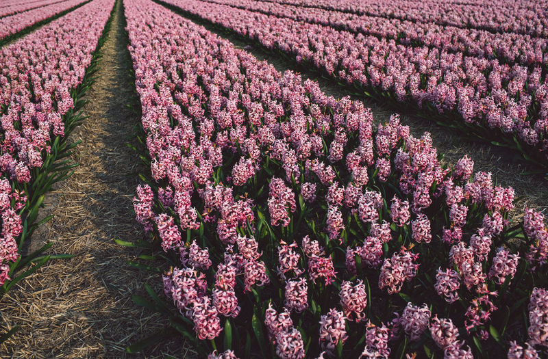 Hyacinth Flower Flowering Plant Plant Growth Beauty In Nature Fragility Vulnerability  Freshness Field Nature Land Pink Color No People Purple Agriculture Day Petal Close-up Springtime High Angle View Outdoors Flower Head Flowerbed Lavender