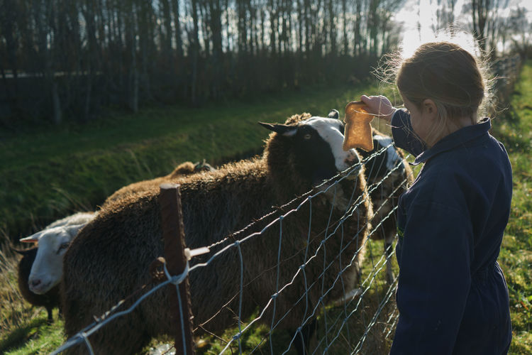 Girl feeding her sheep with bread.