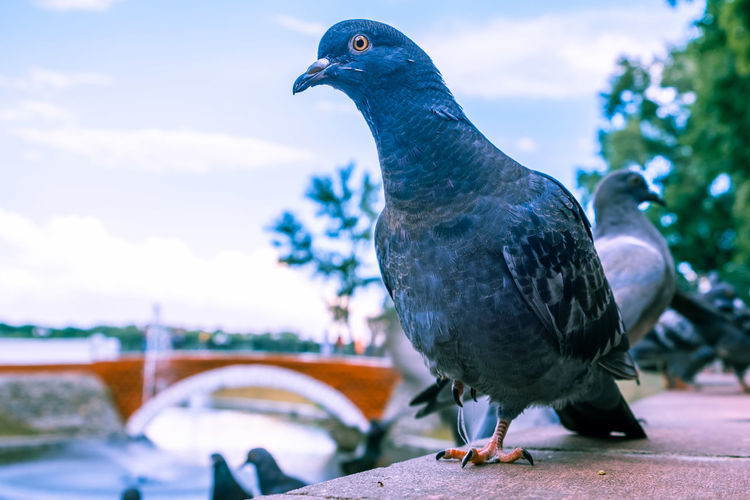 Curious pigeon looking into the camera with one eye
