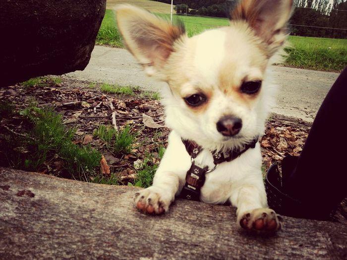 Chihuahua My Dog Best Friends Hello World mik????