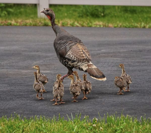 10 wild turkeys