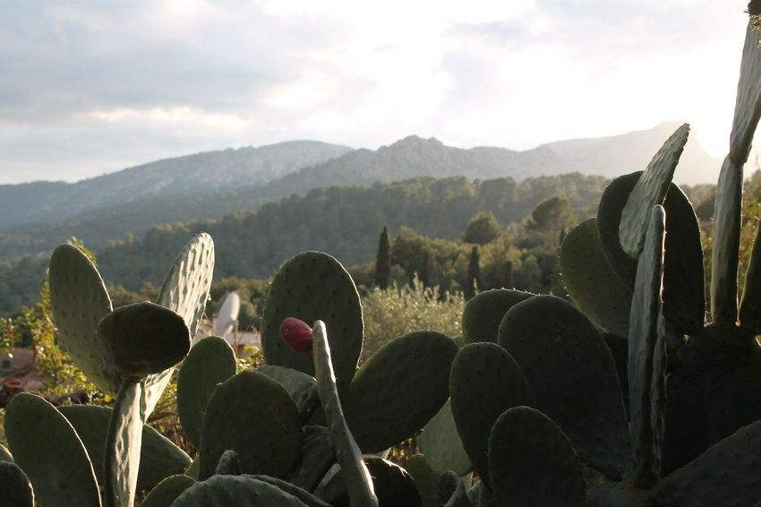 Pollença Cactus Growth Nature No People Plant Tranquility Sky Beauty In Nature Outdoors Mountain Scenics Landscape