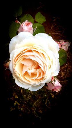 Rose🌹 Rose - Flower Rose Garden Peach Rose Angel Memorial Pregnancy Loss Nature Close-up First Eyeem Photo