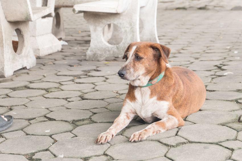 Thai dog on ground Animal Animal Themes Bangkok Day Dog Floor Ground Life Lifestyle Lifestyles Mammal One Animal Outdoors Pet Pets Temple Thai Thai Dog Thai Pet Thailand
