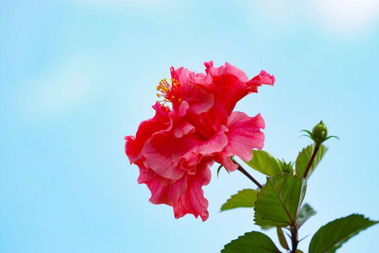 朱槿 Flower Head Flower Hibiscus Peony  Red Leaf Petal Blossom Summer Close-up