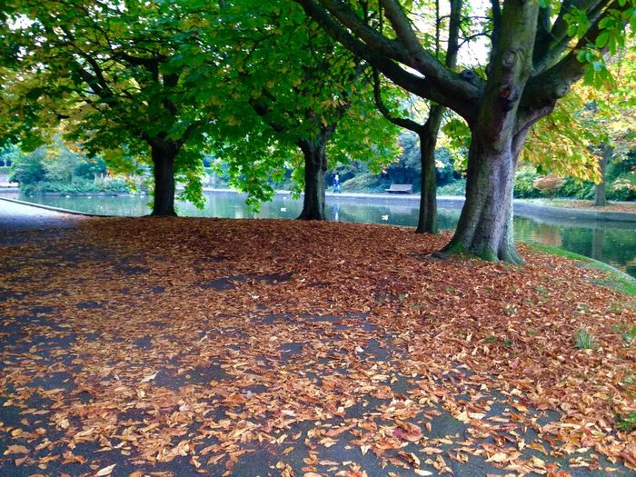 Absence Abundance Autumn Bench Change Day Fallen Footpath Growing Growth Leaf Outdoors Park Park - Man Made Space Season  Shadow Tranquility Tree Tree Trunk Autumn Colors Autumn Leaves Autumn Collection Autumn Leaves Autumn By The Lake Tree And Water