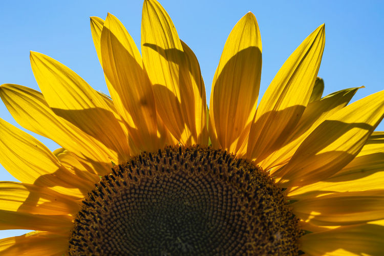 A close up of part of a sunflower, with a blue sky overhead