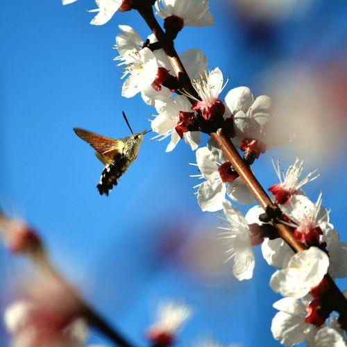 Taubenschwänzchen (Macroglossum Stellatarum) Flying Wings EyeEmAnimalLover Flower Flower Head Branch Insect Sky Close-up In Bloom Blooming Twig Wollschweber Fragility Springtime Nature Beauty In Nature My Best Photo