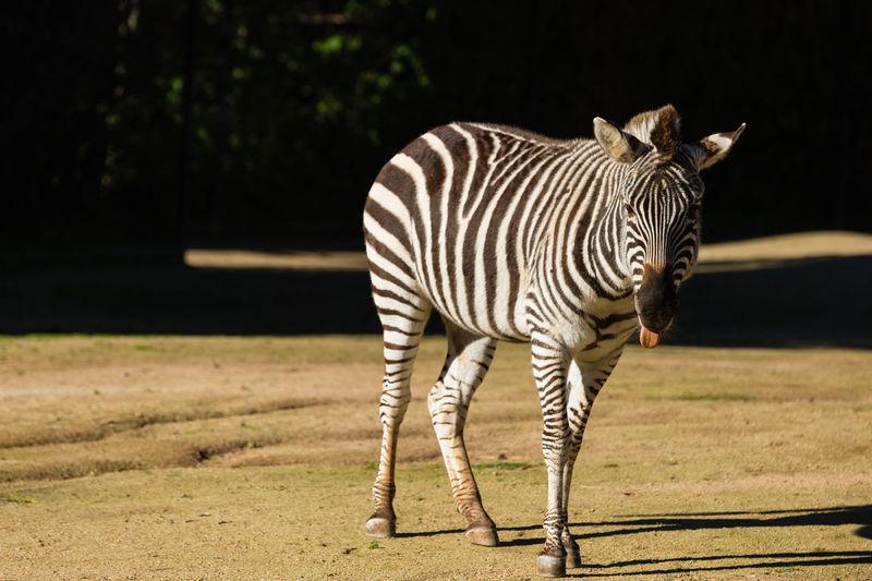 Zebras standing outdoors