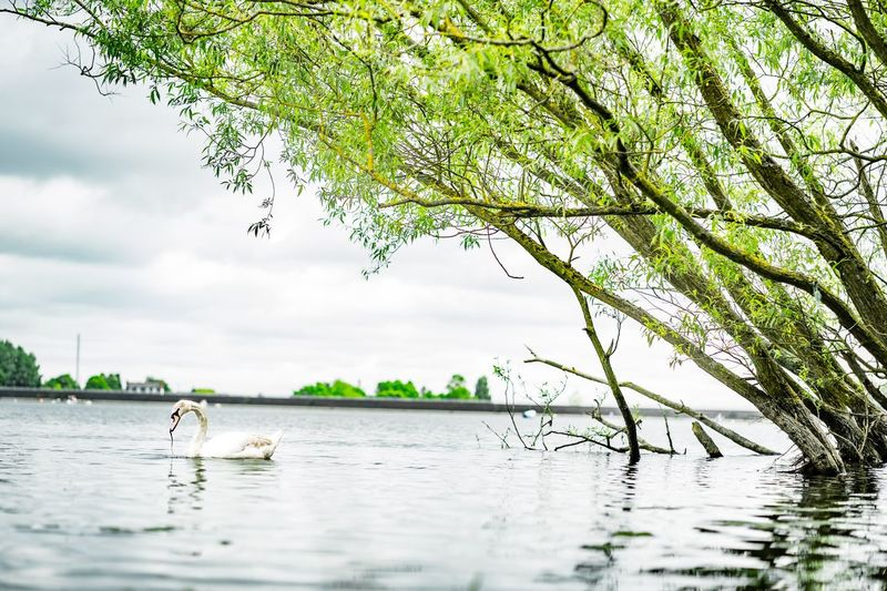 Swan Lake Water Plant Tree Animal Themes Waterfront Animal Animal Wildlife Vertebrate Bird Group Of Animals Animals In The Wild Branch Lake Nature Growth Sky Day Beauty In Nature Outdoors Cloud - Sky
