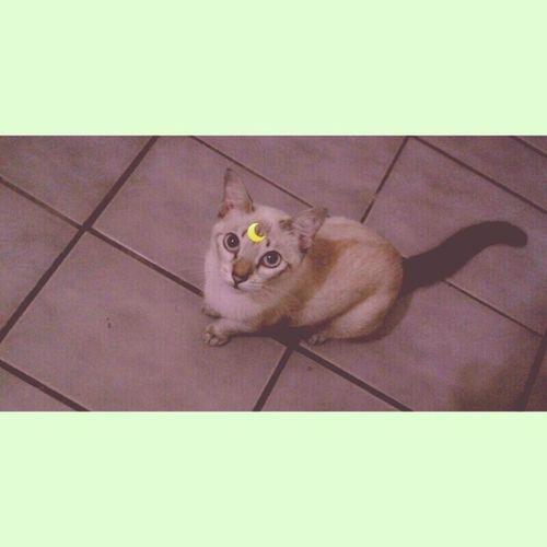 Minha gatinha de Àrtemis das Sailor Moon ..hue ( My kitten Artemis from Sailor Moon .. ) ArtemisSailorMoon Cat Lovecat  Sailormoon Anime Cute JapaneseCulture Love Like