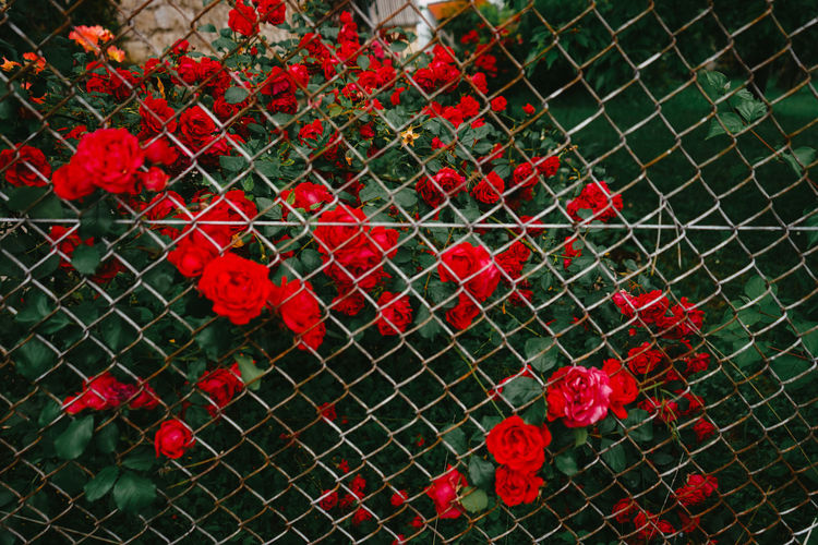 High angle view of red rose on fence