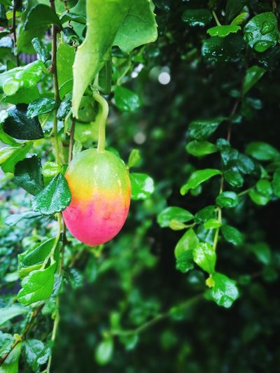 fresh Ivy Gourd Coccinia Grandis Tree Branch Fruit Leaf Hanging Agriculture Citrus Fruit Close-up Plant Food And Drink Fruit Tree