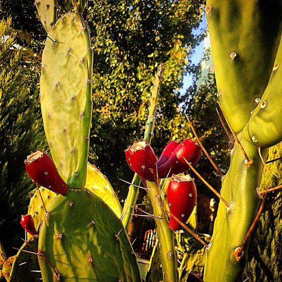 Hello World Check This Out Taking Photos Enjoying Life Hi! Cactus Cactus Flower Cactus Garden Cactuslover Cactusclub Cactus Paradise Cactus Collection Cactusflower Cactuslove Cactuscollection Cactus Flowers Cactusland. Cactus Fruits Cactusturkey Fruit Fruits Fruits ♡ Fruit Tree Fruity Photo