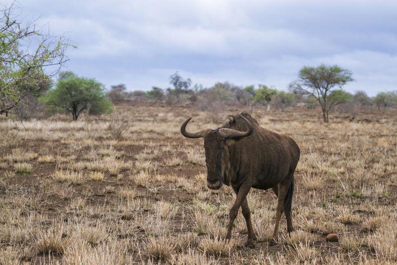 Full length of wildebeest on land against sky