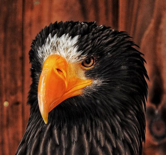 Close-up of steller sea eagle outdoors