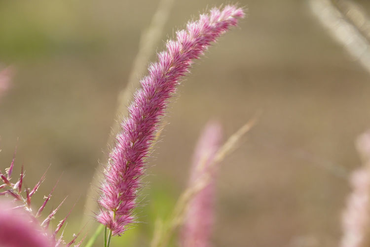 Plant Flower Flowering Plant Beauty In Nature Close-up Growth Selective Focus Focus On Foreground Vulnerability  Freshness Fragility Nature No People Pink Color Day Outdoors Tranquility Flower Head Purple Grass Medow Maroon Grass Maroon